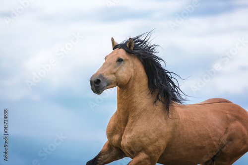 Portrait of running bay horse. Plakát