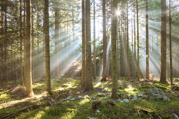 Morning sun rays in forest tree landscape. © robsonphoto