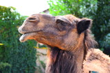 Camel Deve