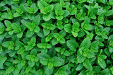 green mint plant in growth at vegetable garden - 145733009