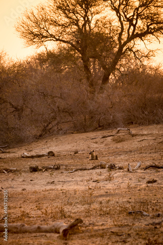 Hyena Lying in Savannah during Sunset, Kruger Park, South Africa, Africa Poster