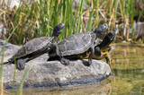 Sumpfschildkröten sonnen sich auf Stein