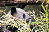Adult Giant Panda eating bamboo, Chengdu China