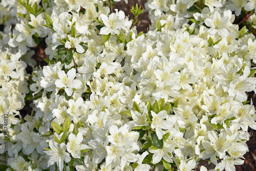 Fotobehang Azalea Azalée blanche au printemps au jardin