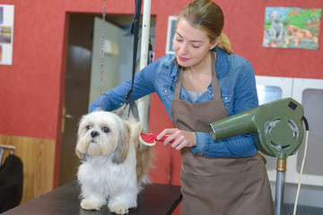 Professional drying dog's hair with hairdryer