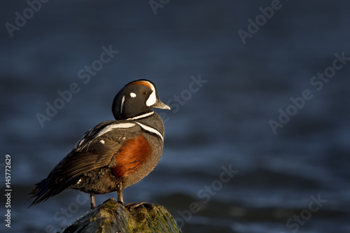 A male Harlequin Duck stands on a jetty rock as the early morning sun shines on with a deep blue water background.