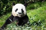 Panda in french zoo
