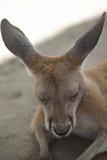 Joey Kangaroo