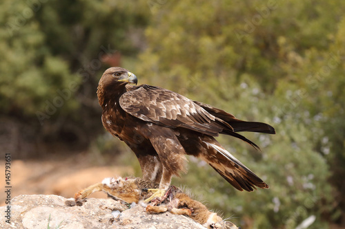 Poster young male of golden eagle