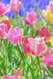 美しいチューリップの花