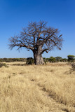 Baobab tree in Tarangire national park Tanzania