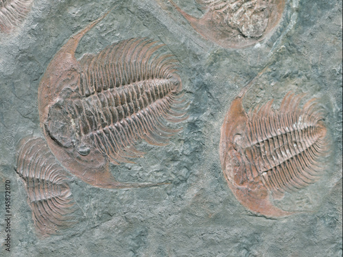 Plagát Fossil of trilobite - detail view