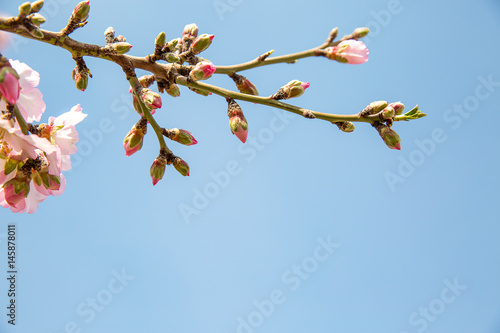 Almond flower trees at spring Poster