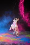 französische bulldogge im studio mit holi pulver