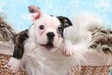 französische Bulldogge, Welpe