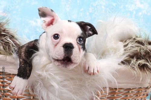 Spoed canvasdoek 2cm dik Franse bulldog französische Bulldogge, Welpe