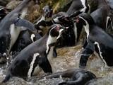 Gefangen! Pinguin mit Fisch im Schnabel