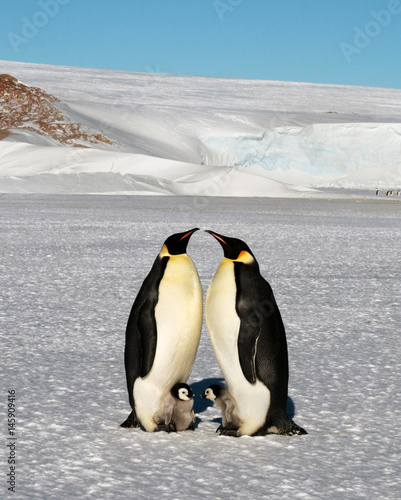 Papiers peints Antarctique Emperor penguin chick. Close-up