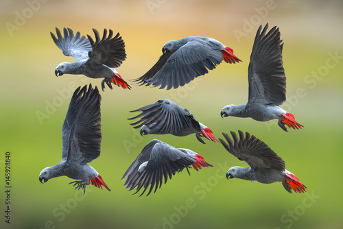 Bird, African grey parrot flying on green background
