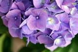Blue and violet hortensia hydrangea flower (Hydrangea macrophylla) in the garden, background