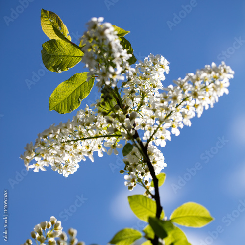 white lilac tree over blue sky in sunny springtime