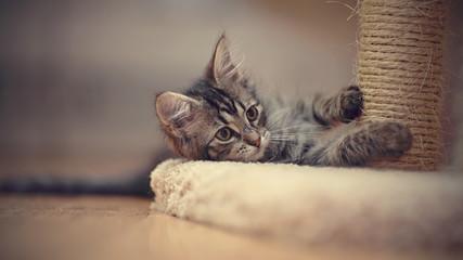 The gray kitten