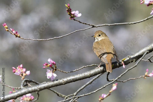 Hermit Thrush On A Spring Perch