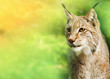 Young male lynx, looking towards the camera, green background.