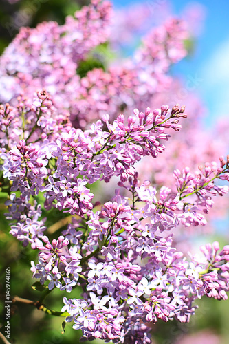 Lilac Tree Pink flowers Blue sky Spring Close up view