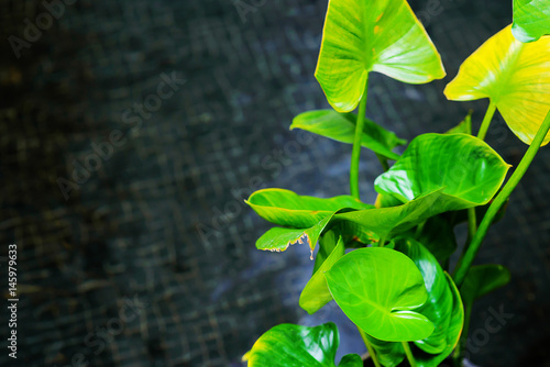 Lotus leaf with vlack water background Poster