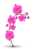 Naturalistic Beautiful Colorful Pink Orchid on White Background.