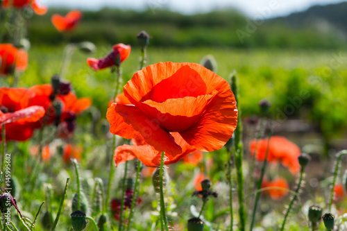 A flowering poppy field in Barcelona, Spain