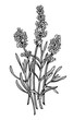 Lavender illustration, drawing, engraving, ink, line art, vector