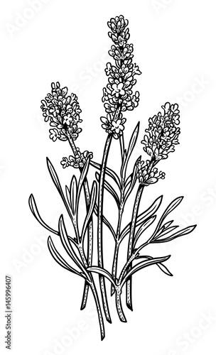 Fototapeta Lavender illustration, drawing, engraving, ink, line art, vector
