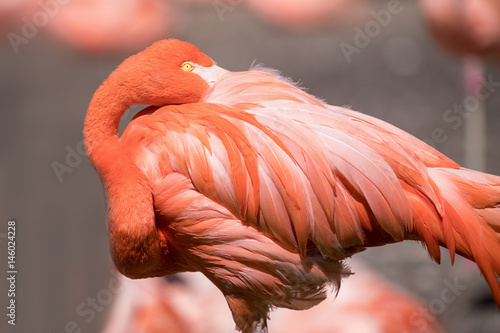 American Flamingo - Phoenicopterus ruber - beautiful red colored bird