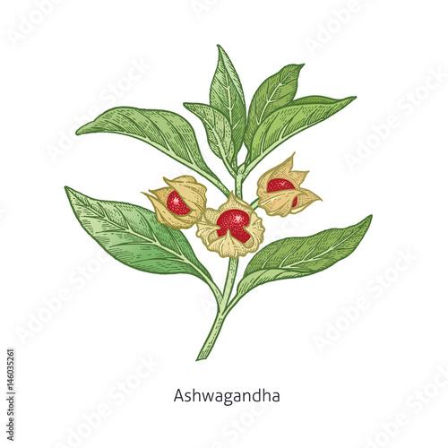 Medical plant Ashwagandha.