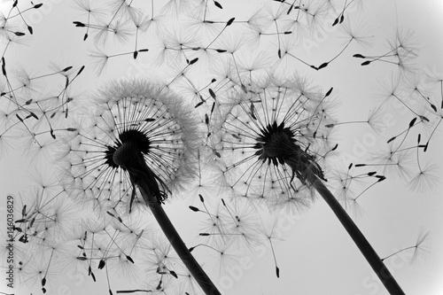 Fototapeta Dandelion Taxaxacum officinale seed heads
