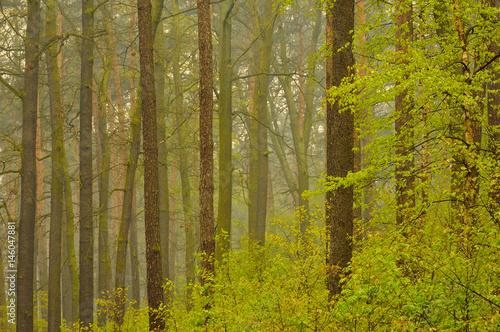 Las o świcie w lekkiej mgiełce. Poster