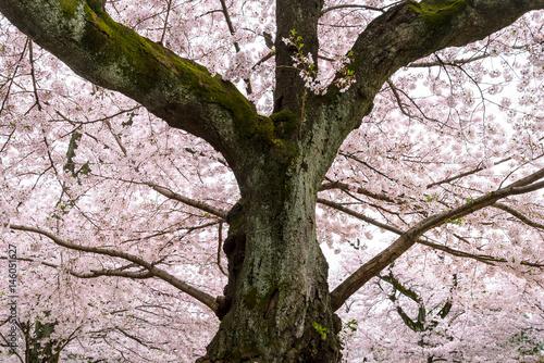 春の洗足池公園 桜の大樹2 Poster