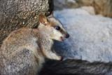 Happy rock wallaby joey