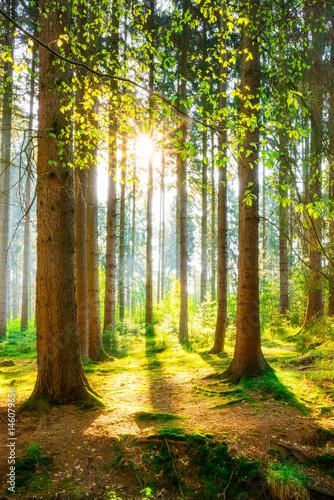 Ein Morgen im Wald mit heller Sonne Poster