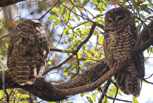 A Breeding Pair of Mexican Spotted Owls Poster