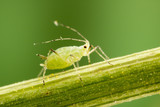 Fototapety Aphid feeding on plant