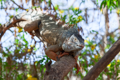 Staande foto Kameleon Colorful iguana climbing on the tree branch and warming on sun