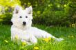 White shepherd puppy on green grass - 146203043