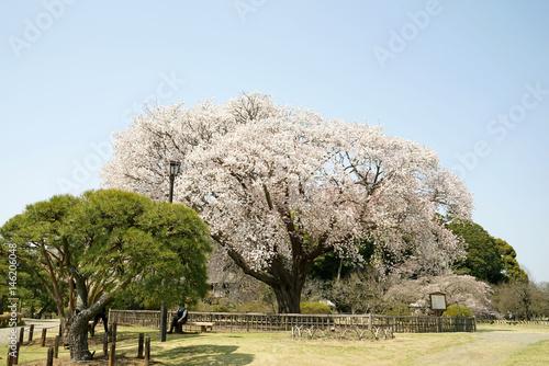 偕楽園の左近の桜 Poster
