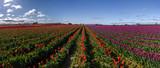 Skagit Valley Tulip Festival 1052