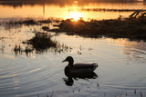 Duck in the sunset. River Daugava. Reflection in the water