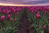 Dutch Spring Flowers, Beautifull Tulip fields, Colorful Tulip fields during sunset