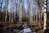 Birch Grove spring path nature russia